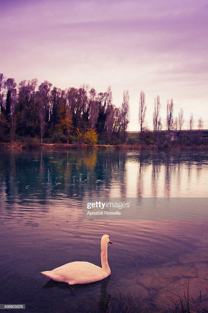Swan in the lake : Stock Photo
