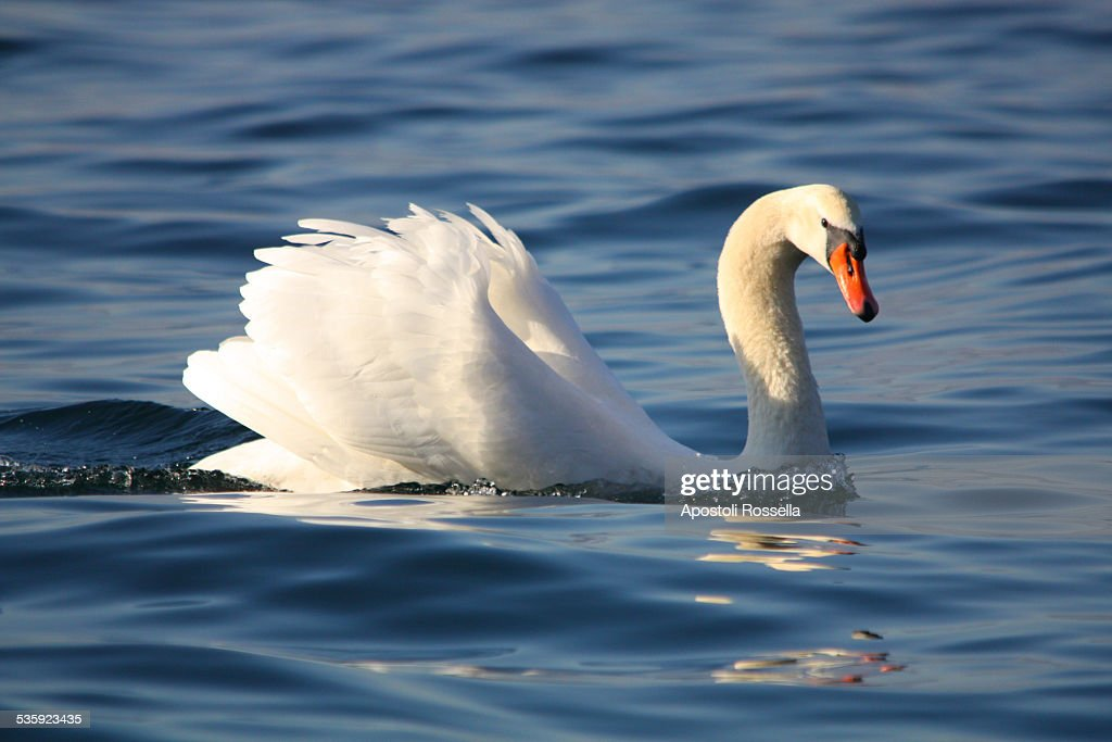 Swan in the lake : Stock Photo