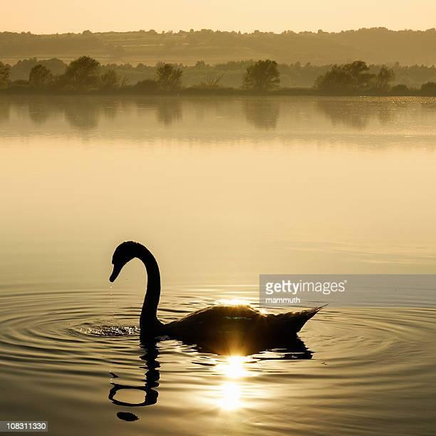 Swan al sole
