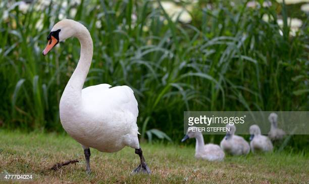 A swan is followed by its chicks as they walk over the lawn at the Stoecken cemetery in Hanover central Germany on June 19 2015 AFP PHOTO / DPA /...