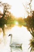Swan on a river at sunset
