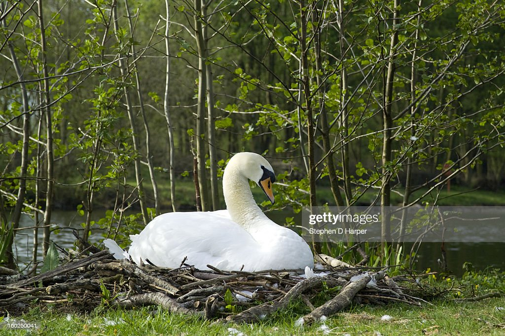 A swan on its nest : Stock Photo