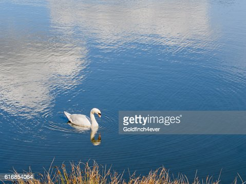 Swan on lake with exceptionally beautiful ripples, reflections. : Stock Photo