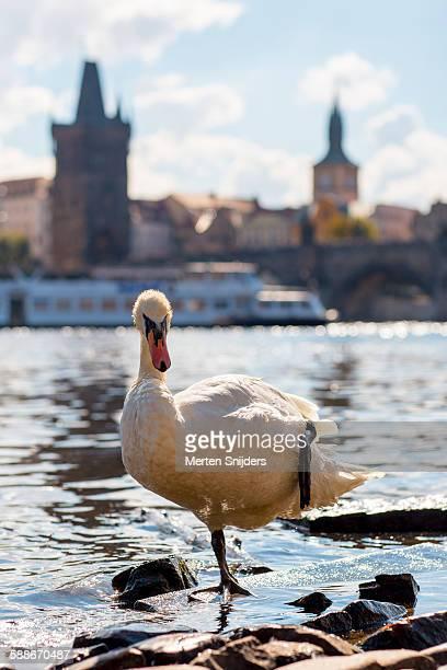 Swan on one leg at Cihelná