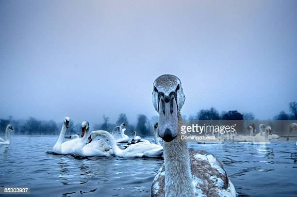 Swan on the Serpentine
