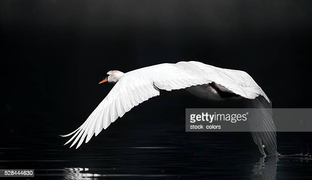 swan over the river