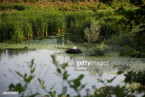 swan : Stock-Foto