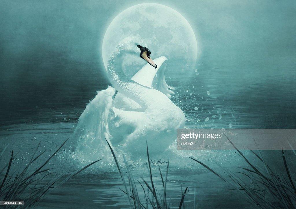 Swan : Stock Photo