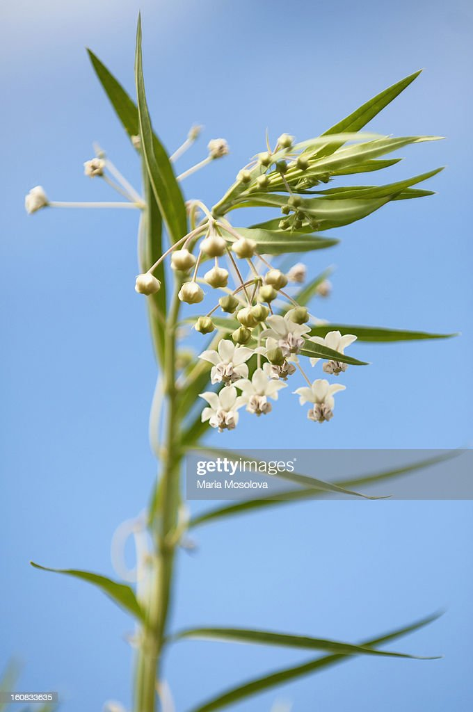 Swan Plant in Bloom. White Flowers on a Tall Plant : Stock Photo