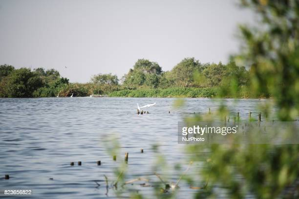 Swan play on coastal mangroves along shoreline of Jakarta on July 27 2017 Mangrove forests in Indonesia can survive from sea level rises as they...