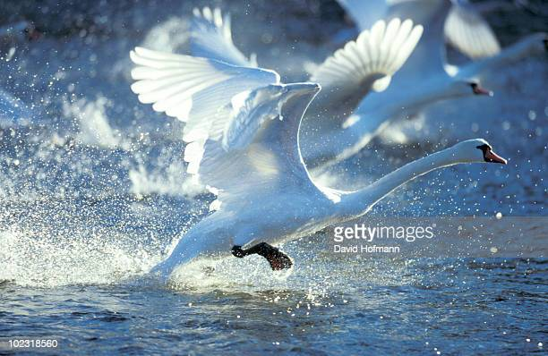 Swan racing over water