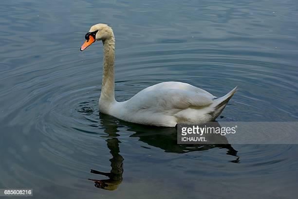 swan reflection France