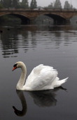 A swan swims on the Serpentine lake in Hyde Park on a misty morning on September 25 2013 in London England
