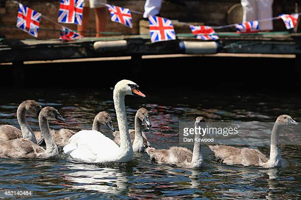 Swans and cygnets are released back onto the river after being weighed and tagged during the annual Swan Upping census on July 14 2014 on the River...