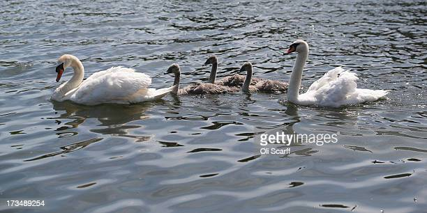 Swans and cygnets having been caught measured assessed tagged and released on the River Thames during the annual Swan Upping ceremony on July 15 2013...