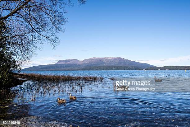 Swans and ducks on Lake Tarawera