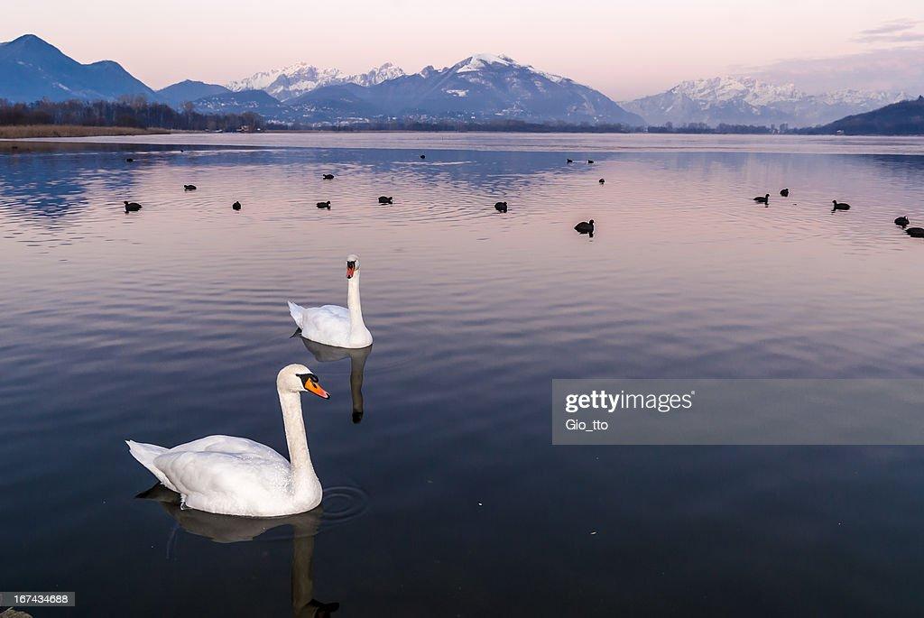 Cisnes en el crepúsculo : Foto de stock