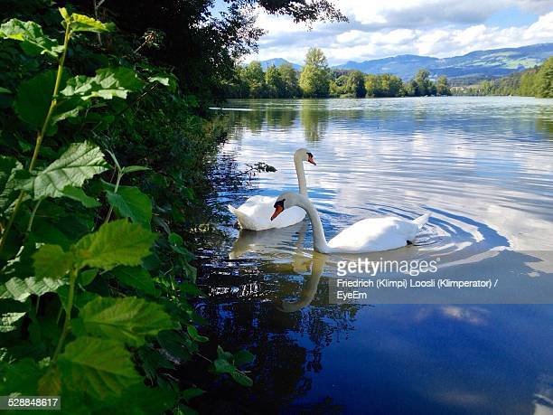 Swans Floating On Lake