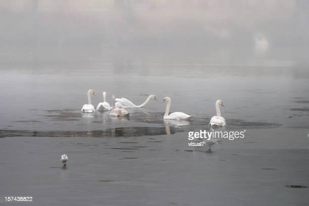swans im Nebel