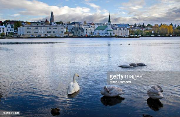Swans in Tjornin Lake