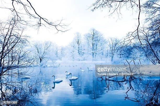 Swans in Winter Landscape