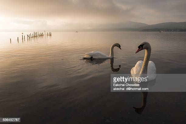 Swans of Yamnaka lake