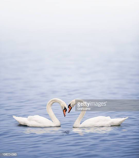 Swans on a lake happily in love