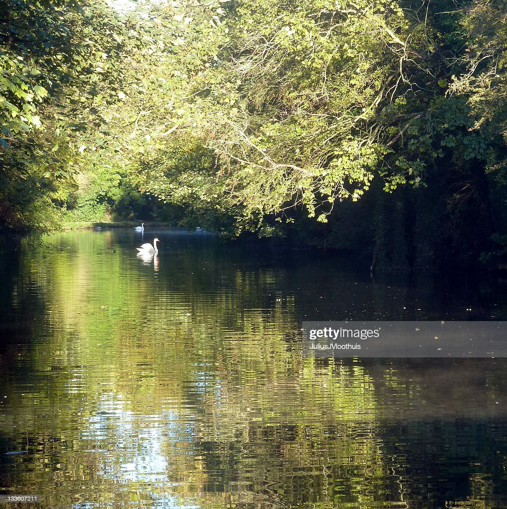 Swans on canal in morning sunshine : Stock Photo