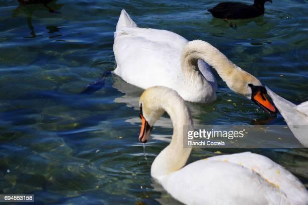 Swans on Lake Geneva in spring
