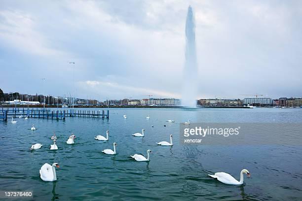 Schwäne auf den Genfer See
