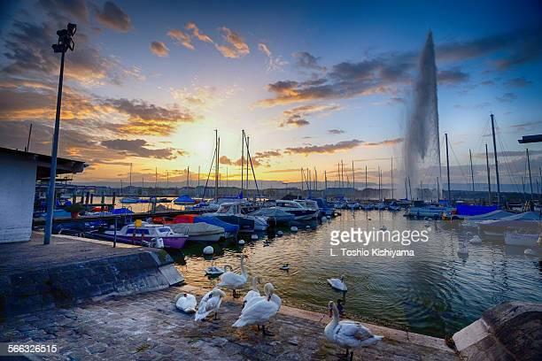 Swans on lake Geneva, Switzerland