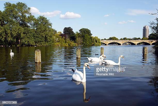 Swans on Long lake