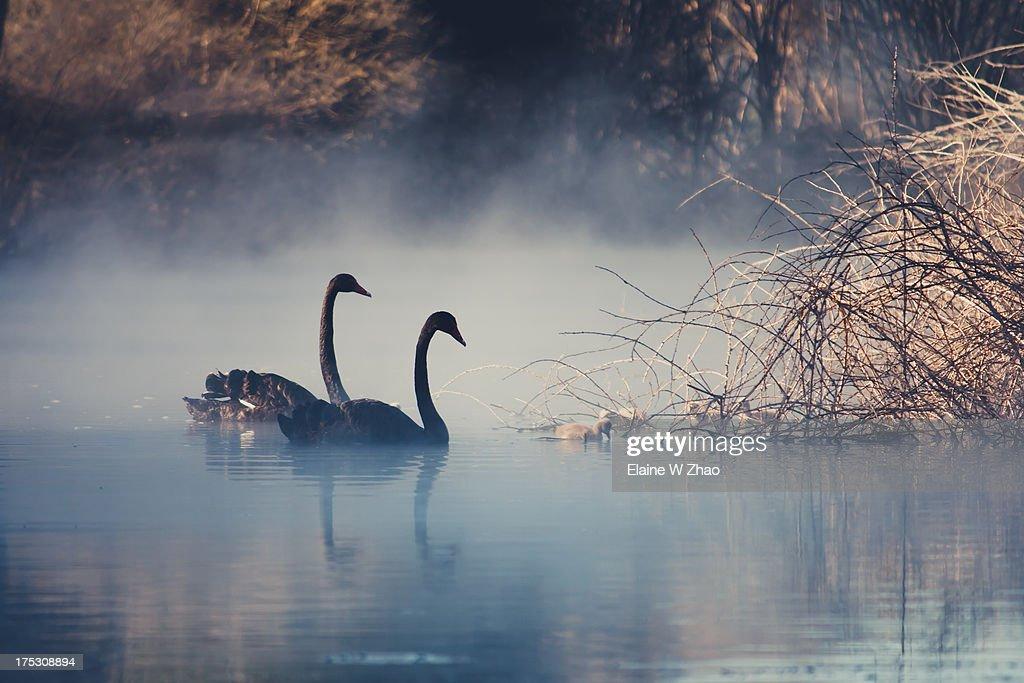 Swans on misty Lake Tarawera, New Zealand