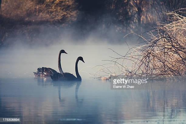 Swans on misty Lake Tarawera, New Zealand