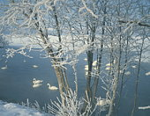 Swans on the Kussharo lake at winter, Hokkaido, Japan