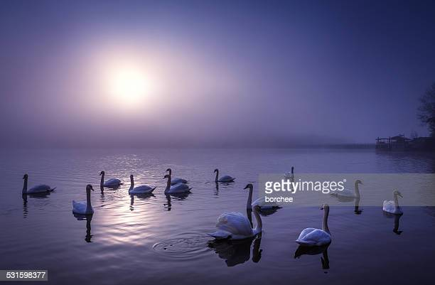 Swans On The Moonlight Lake