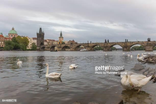 Swans on the Vltava River in Prague