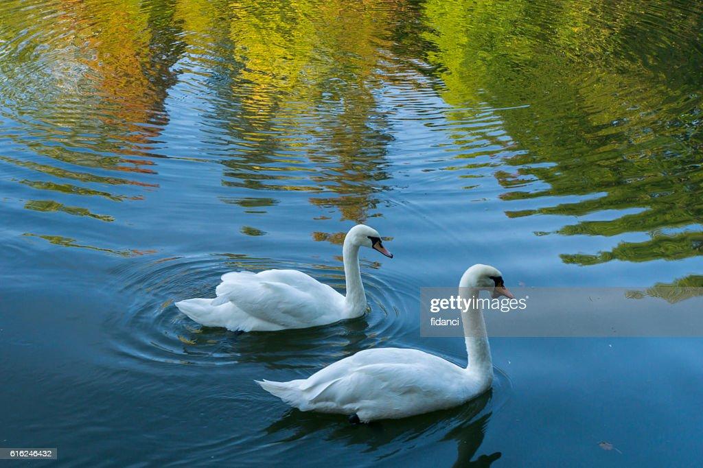 swans : Stock Photo