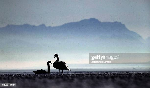 Swans sit in the sun on Lake Ammersee on January 28 2017 in Stegen am Ammersee Germany After an unusual cold winter period currently most of the...