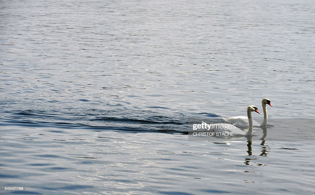 Swans swim at the water of the lake Ammersee near the small Bavarian village Utting, southern Germany, during nice summer weather with temperatures by 20 degrees on June 28, 2016. Meteorologists forecast a warm and sunny weather during the next days for the southern German region. / AFP / CHRISTOF