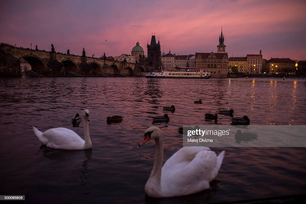 Swans swim under the Charles Bridge during the sunset on December 5, 2015 in Prague, Czech Republic.