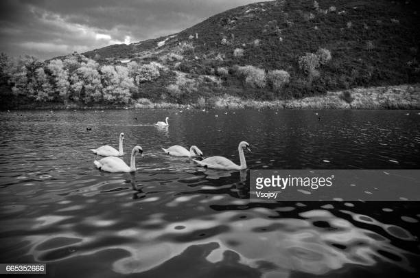 Swans swimming at the St Margaret's Loch, Holyrood Park, Edinburgh