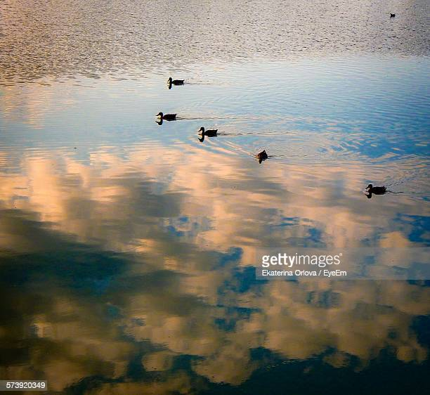 Swans Swimming In River With Clouds Reflection