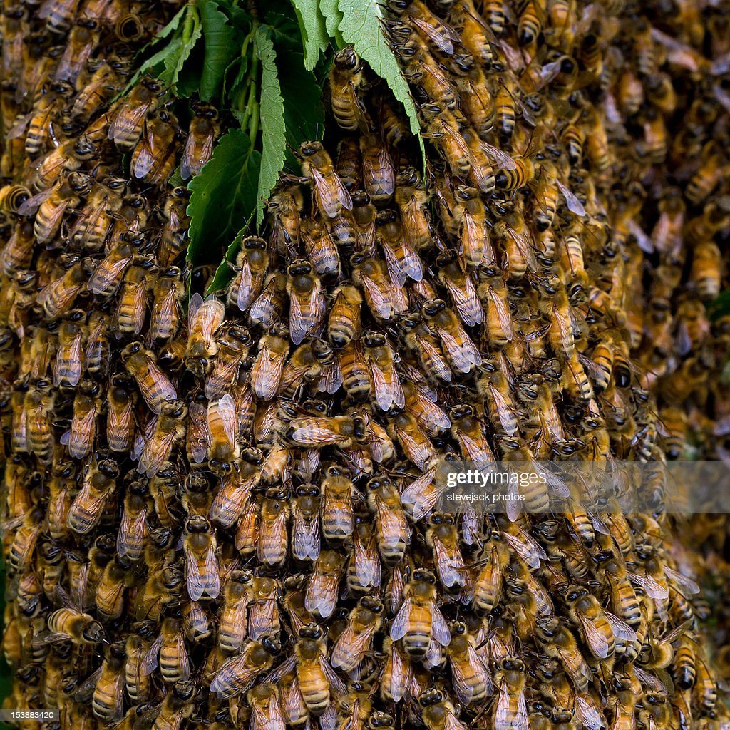 Swarm of Bees in Hertfordshire England : Stock Photo
