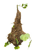 Honey bee swarming - capture of agricultural and zoological process