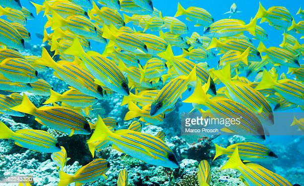 A swarm of Bluestripe snapper swim underwater near Athuruga island on May 28 2012 in Athuruga MaldivesThe Republic of the Maldives consists of 1192...