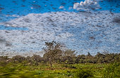 Huge swarm of hungry locust in flight near Morondava in Madagascar