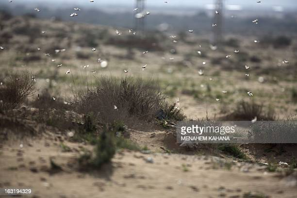 A swarm of locusts fly on March 6 2013 in the Israeli village of Kmehin in the Negev Desert near the Egyptian border According the UN Food and...