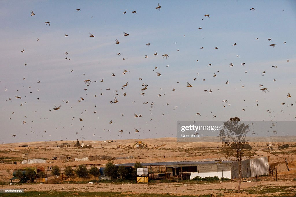 A swarm of locusts fly over the Negev at the Negev desert near the Egyptian Israeli border on March 12, 2013 at the Beduin vilage of Bir Hadage, Israel. Egypt and Israel have been swarmed with millions of locusts over the past few days causing wide spread disturbances.