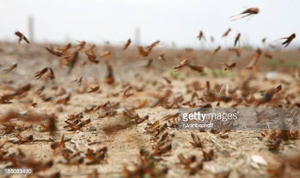 Nuée d'locusts